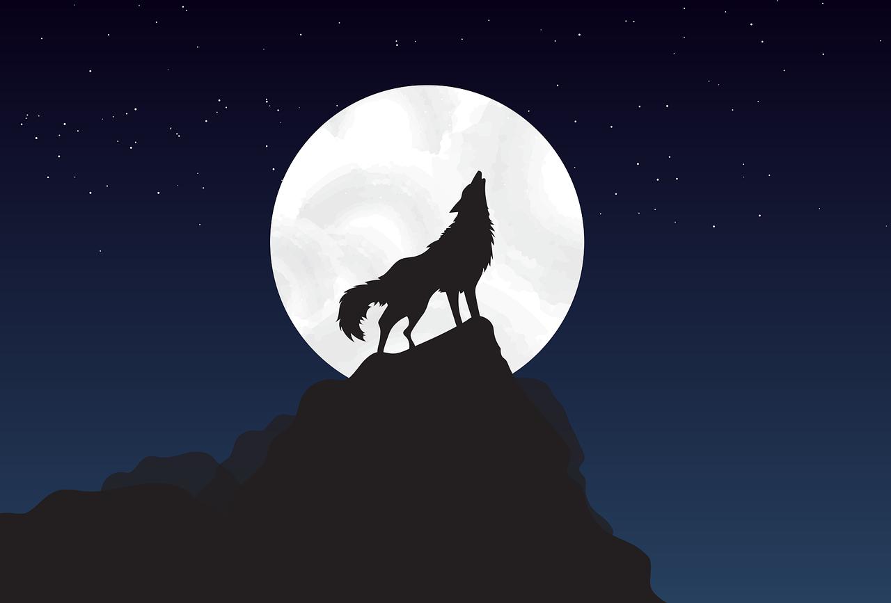 wolf, stand, walk